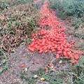 A rischio la campagna pomodoro