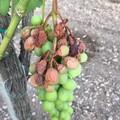 Emergenza caldo :frutta scottata nei campi per afa e siccità