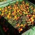 """Crisi agrumicola:  """"Troppe le insidie tra importazioni selvagge, crollo dei prezzi, rischi ambientali """""""
