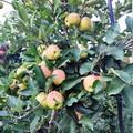 La mela è il frutto più consumato dalle famiglie