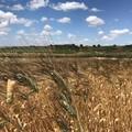 Puglia: boom per la coltivazione di grani antichi