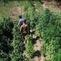 Scoperta piantagione di marijuana in un vigneto abbandonato