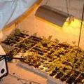 Arresto in flagranza di reato per coltivazione di Maijuana
