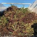 XYLELLA a Canosa : distrutte 7500 piante infette