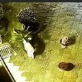 Canosa: ladro di cycas in azione