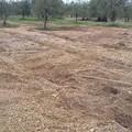 Razzia di ulivi in campagna