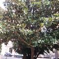 Magnolie in Piazza Galluppi