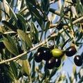 Ancora furti di olive a Canosa. L'intervento della polizia