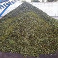 Il prezzo delle olive il più basso degli ultimi decenni