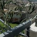 I rami del Monte Oliveto nel giorno delle Palme