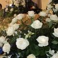 Un rosa bianca per Papa Francesco da Santa Teresa di Gesù Bambino