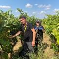 Vendemmia: la raccolta dei primi grappoli di uva Negroamaro
