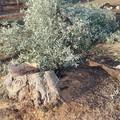 Annus horribilis per olivicoltura pugliese