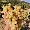 Il Distretto produttivo agroalimentare dell'uva da tavola