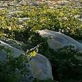 Criminalità: Danneggiato un vigneto di uva  di 5 ettari