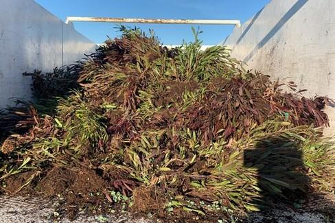 XYLELLA a Canosa : distrutte  piante infette