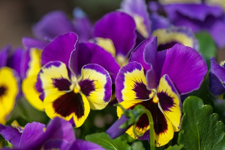 Eduli fiori commestibili