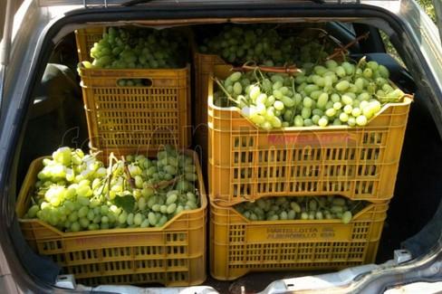 Puglia campagna disastrosa dell 39 uva da tavola - Uva da tavola puglia ...