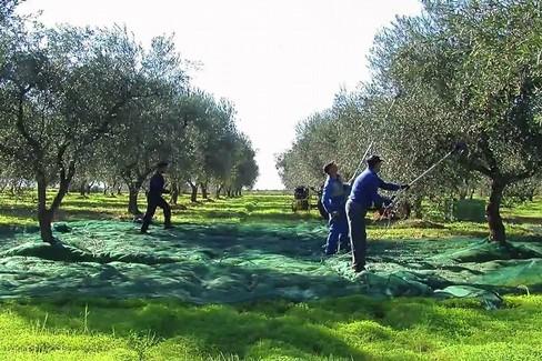 Agricoltori  contadini raccolta olive