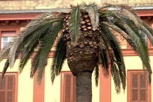 Punteruolo rosso attacca le palme