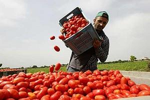 Raccolta dei pomodori nei campi