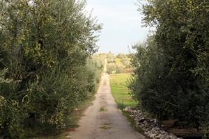 Stradina di campagna, un tratturo tra gli ulivi