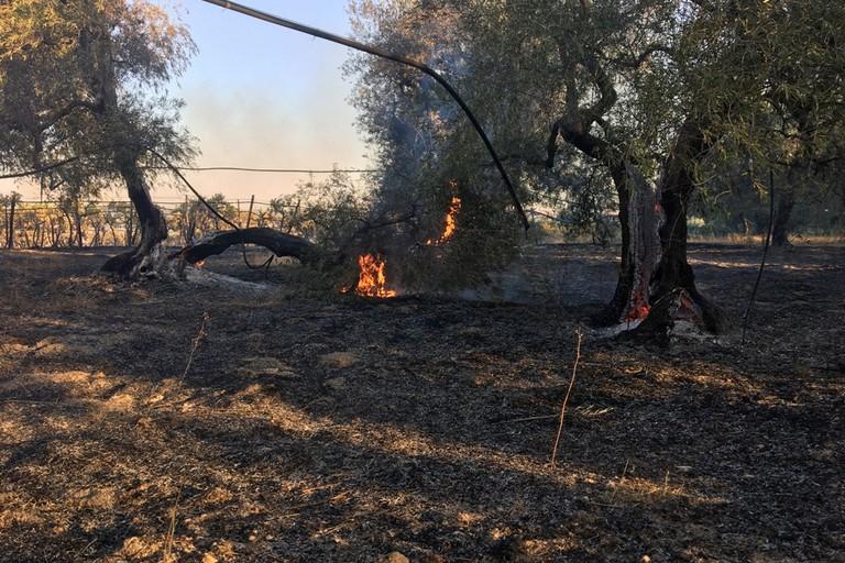 Incendio uliveto Canosa 2021
