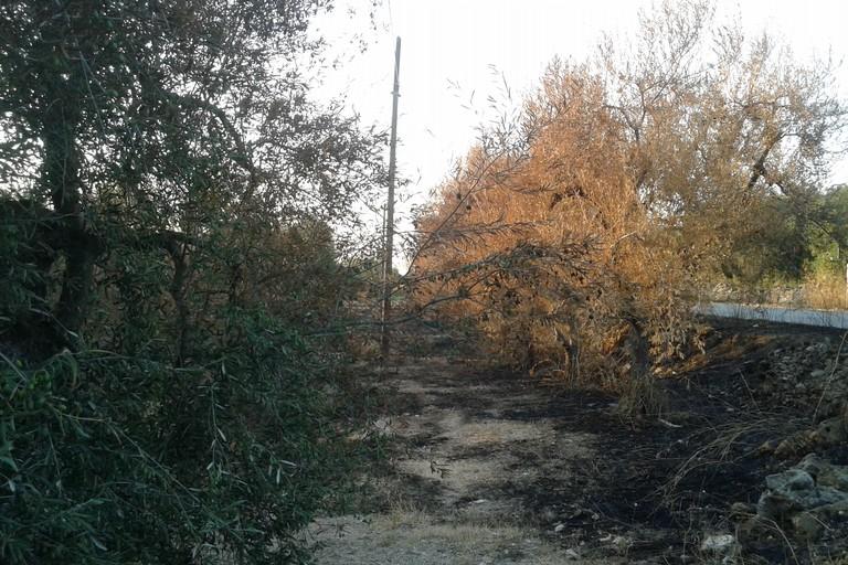 Incendi Ulivi bruciati